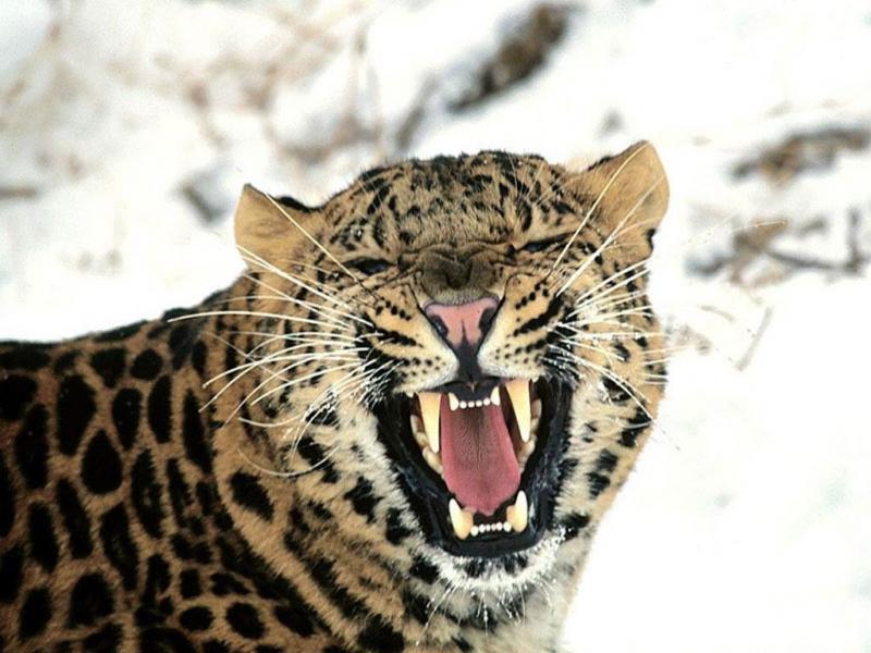 1024x768 leopardo de las nieves