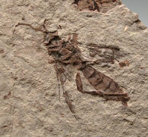 Insetto fossile 1