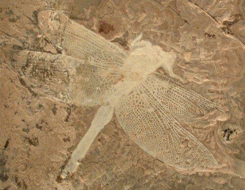 Insetto fossile 2