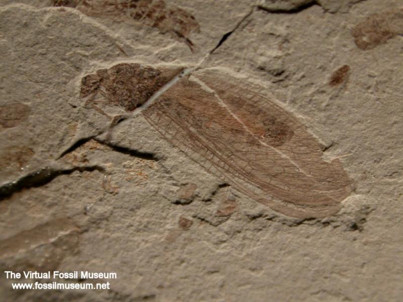 Insetto fossile 4