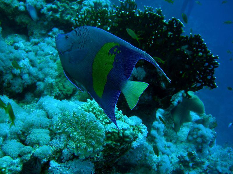 Pesce Angelo Maculato Sharm '08
