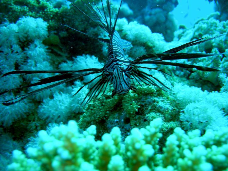 Pesce Leone Sharm '08