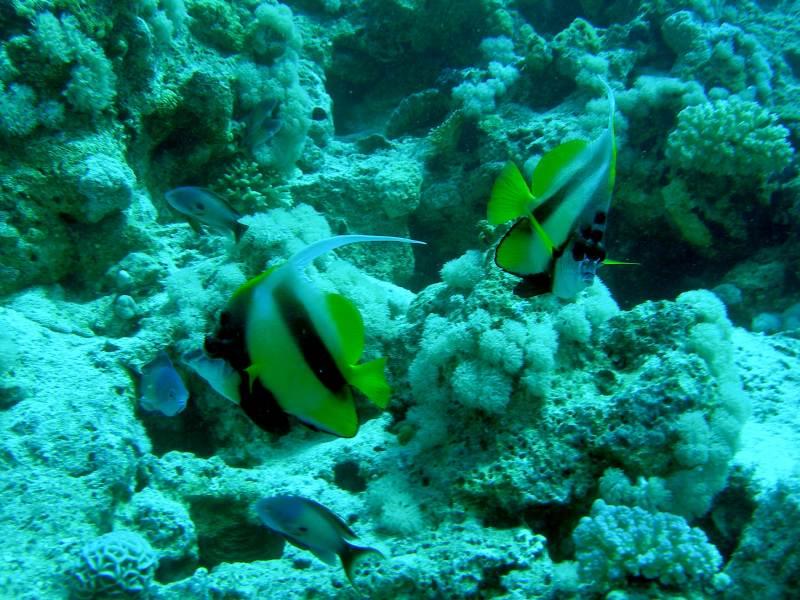 Pesce Farfalla Bandiera Sharm '08
