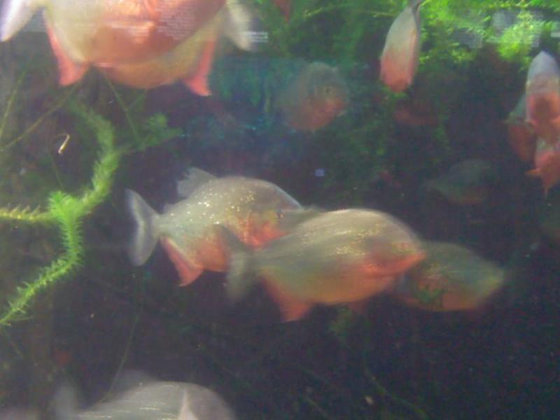 Acquario GE Piranha