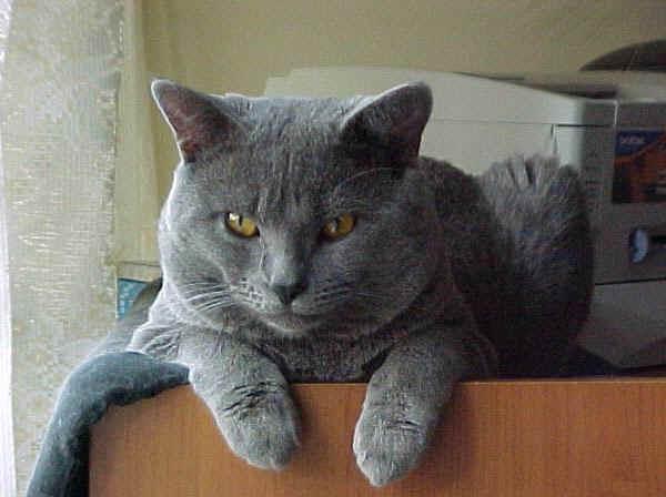 Kuroji in versione gatto non antropomorfo, diciamo che pelo, occhi e sguardo sono quelli :D