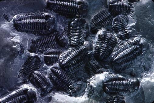 Trilobiti fossili
