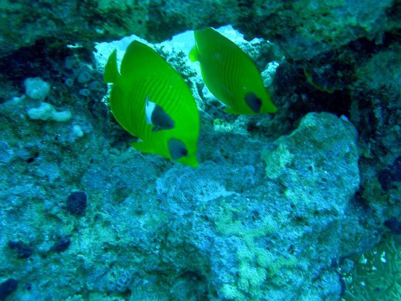 Pesce Farfalla Sharm '08