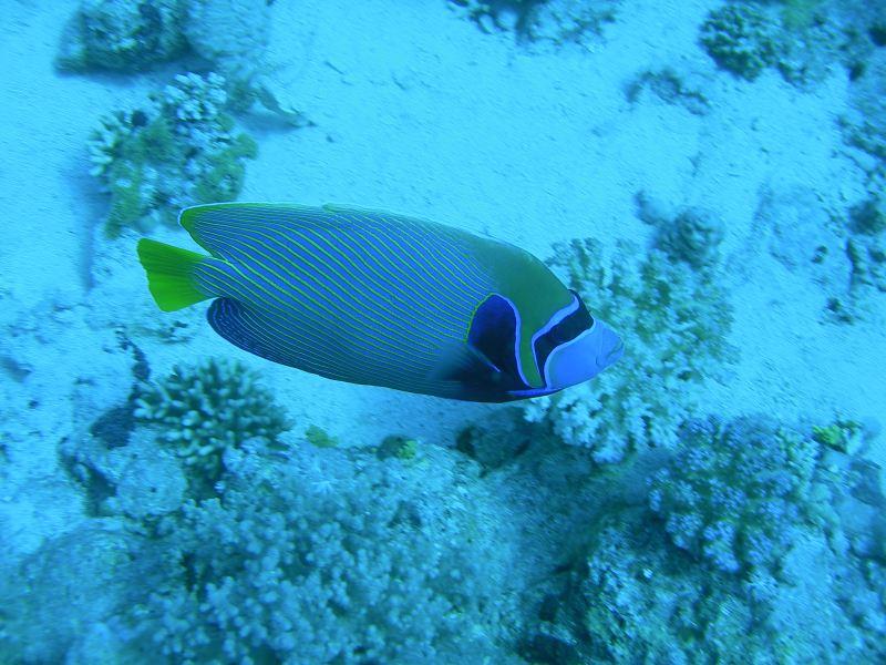 Pesce Angelo Imperatore Sharm '08